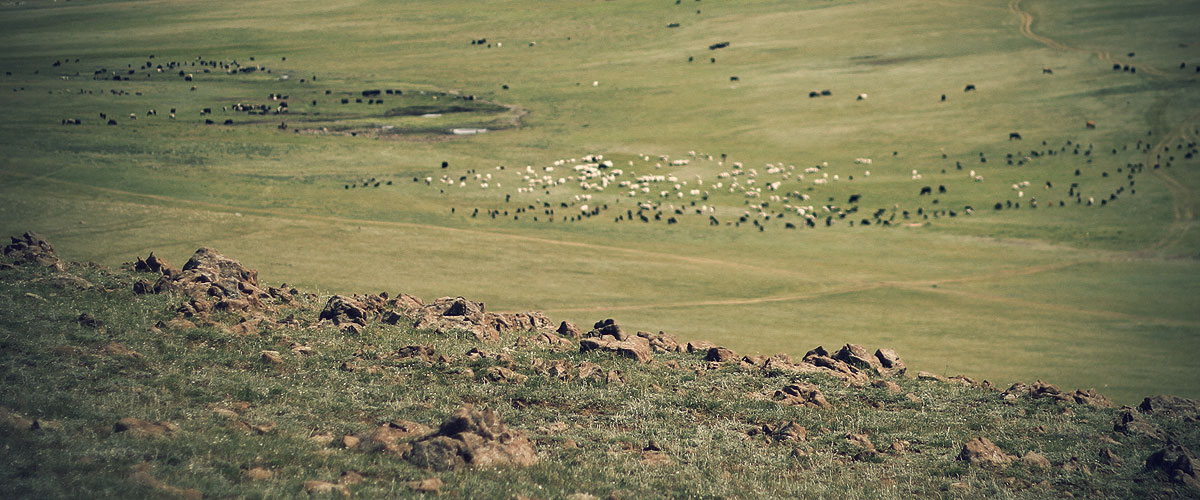 Sheeps in a mongolian National Park